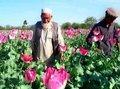 حقل أفيون في أفغانستان، الصورة: أ ب