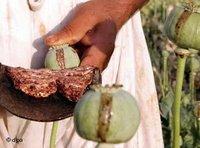 زهرة الخشخاش، الصورة: د ب أ