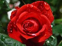 وردة حمراء، الصورة: دويتشه فيله