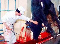 مشهد من ذبح احدى الأبقار، الصورة: د.ب.ا