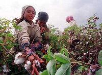 عاملات يجمعن القطن في مصر، الصورة: ا.ب: