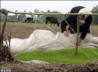 حقول أرز تعاني من الجفاف في محافظة مازندران