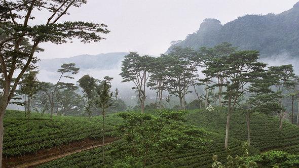 زراعة الشاي في سيريلانكا.  Anjadorra