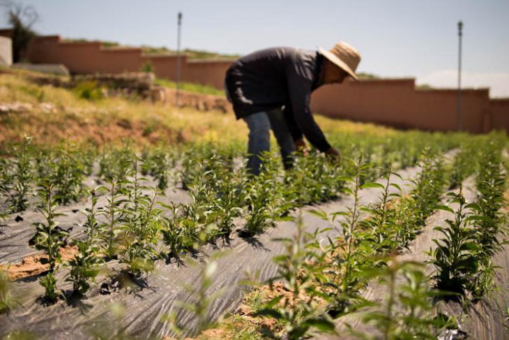 يتم الحفاظ -مِنْ قِبَل عاملين محليين- على حضانة شجرة الفاكهة العضوية التي أنتجت 150 ألف شجرة من التين والرمان واللوز والليمون والعنب منذ عام 2012.  (photo: High Atlas Foundation)