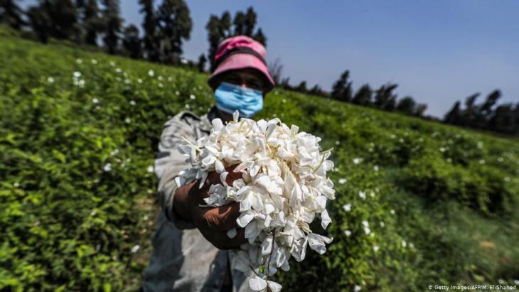 منطقة مصرية في دلتا النيل تنتج أكثر من نصف كمية العجينة الخاصة باستخراج عطر الياسمين في العالم