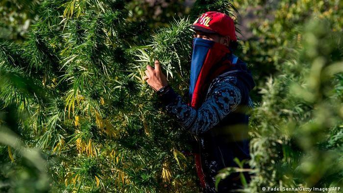 يأتي معظم القنب في المغرب من المناطق الريفية الفقيرة في الشمال.  Foto: Fadel Senna/Getty Images/AFP.