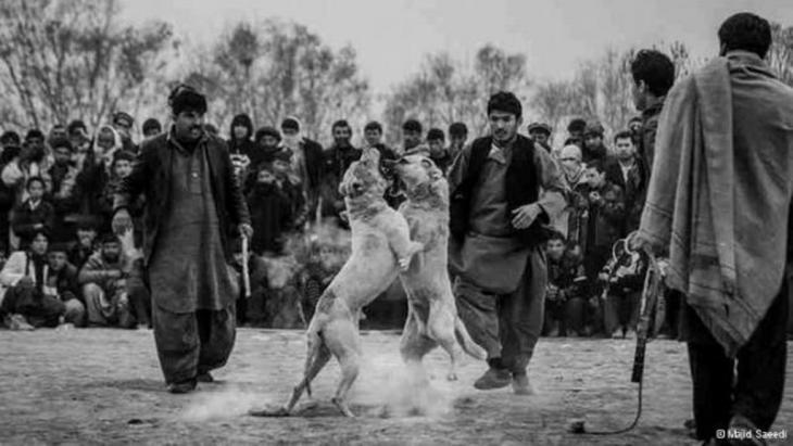 مصارعة الحيوانات في الأماكن العامة في أفغانستان