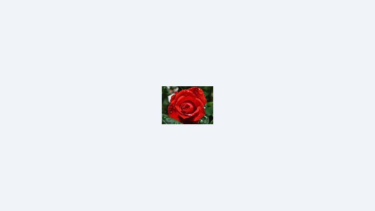 وردة حمراء، الصورة: دويشه فيله