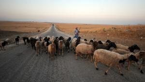 ماشية مع مرعاتها في تونس. Foto: Getty Images/AFP/F. Belaid