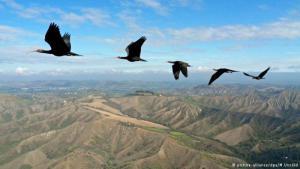 طيور أبو منجل في طريق الهجرة. (photo: picture-alliance/dpa/M. Unsold)