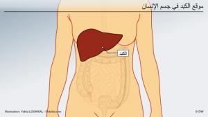 الصيام له فوائد صحية على مشاكل الكبد الدهني المعروف أيضا بتشحم الكبد.