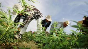 """زراعة القنب الهندي """"الحشيش"""" في منطقة العرائش، المغرب. Foto: DW"""
