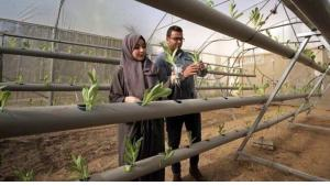 Safiyya and Azem Abu Daqqa, both qualified agricultural engineers, inspect seedlings in their greenhouse (photo: Afaq)