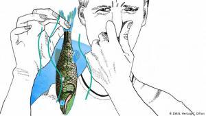 """Der Fisch stinkt vom Kopf her: يتعفن رأس السمكة بسرعة بعد موتها، ولهذا فهو أول جزء يفسد منها. ويُستعمل مَثَلُ """"السمكة تتعفن من الرأس"""" عندما تقوم قيادة منظمة أو حزب ما، على سبيل المثال، بالعمل لحساب القيادة الشخصي أو تضليل الجمهور. اشتهر هذا المثل في ألمانيا عام 2000 عندما استخدمه المستشار الألماني السابق غيرهارد شرودر للإشارة إلى رئيس وزراء ولاية هيسن، رونالد كوخ، بعد فضائحه المالية."""