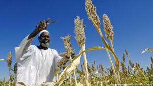 مزارع يحصد المحصول في السودان.